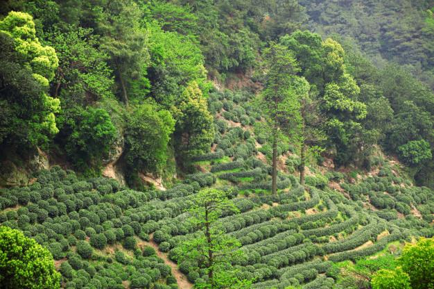 Paysage de culture du Thé du Hangzhou-Chine